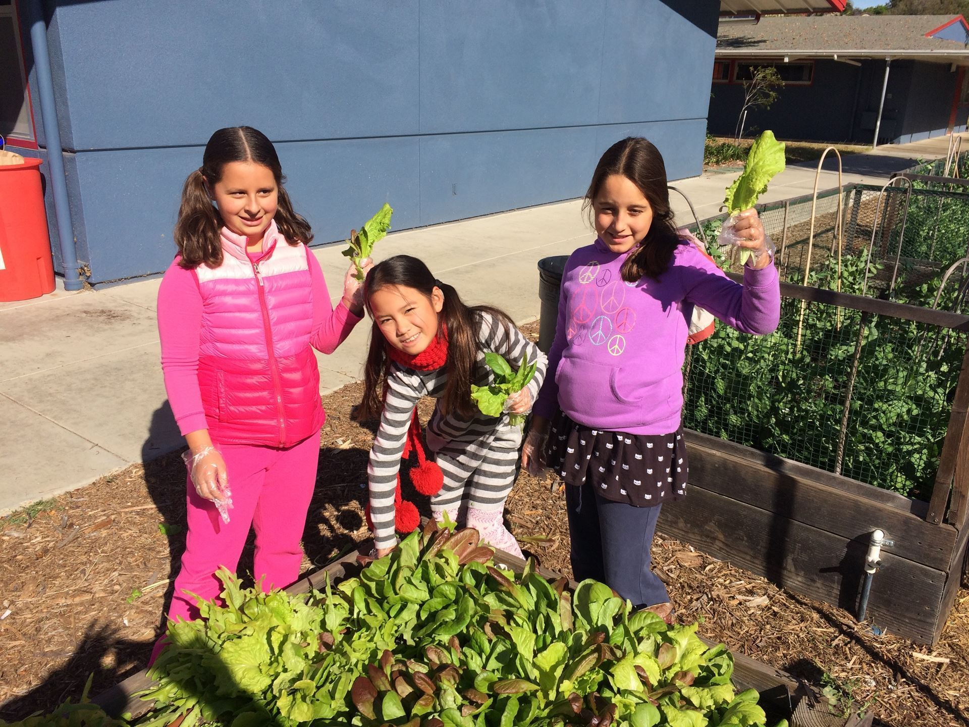 4th Grade Gaden Club picking lettuce